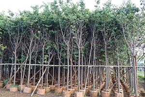 宜良绿化苗木出售_园林苗木相关-宜良田字格苗木种植园